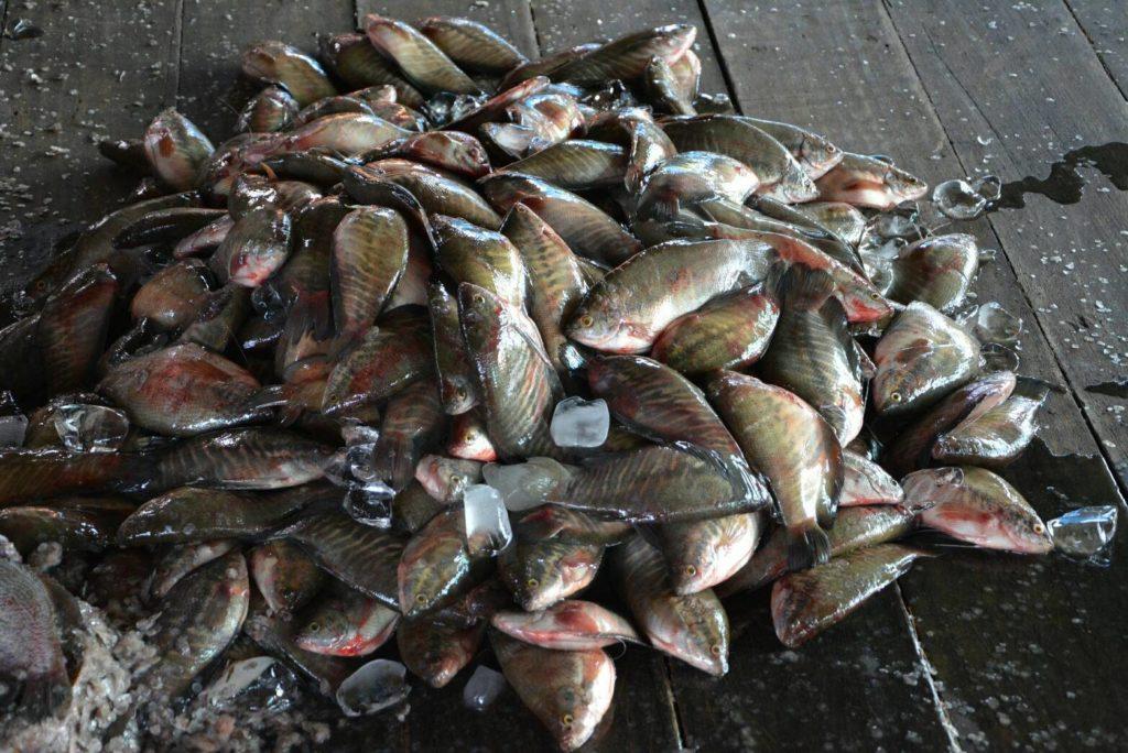 แหล่ง ขายส่ง ปลา สลิด